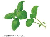 水耕栽培種子 スイートバジル 「GreenFarm」 UH-HD03